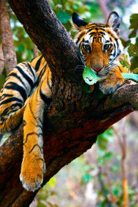 Tiger perched atop a tree - rare animal behaviour picture as tiger usually don't climb trees.